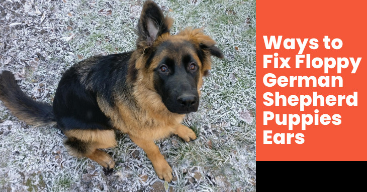 Ways to Fix Floppy German Shepherd Puppies Ears