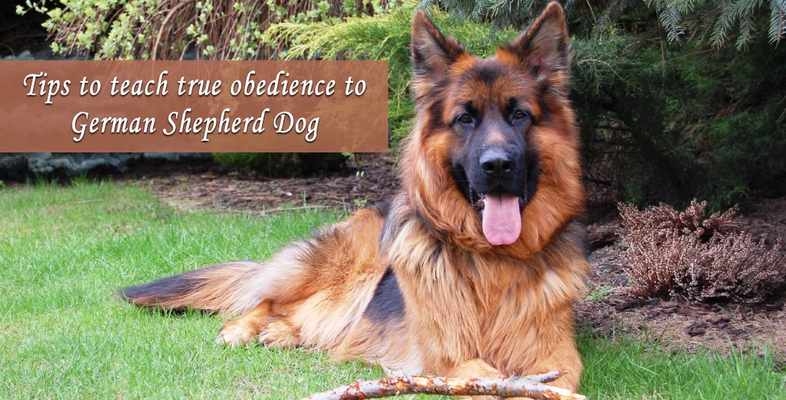 Tips to teach true obedience to German Shepherd Dog