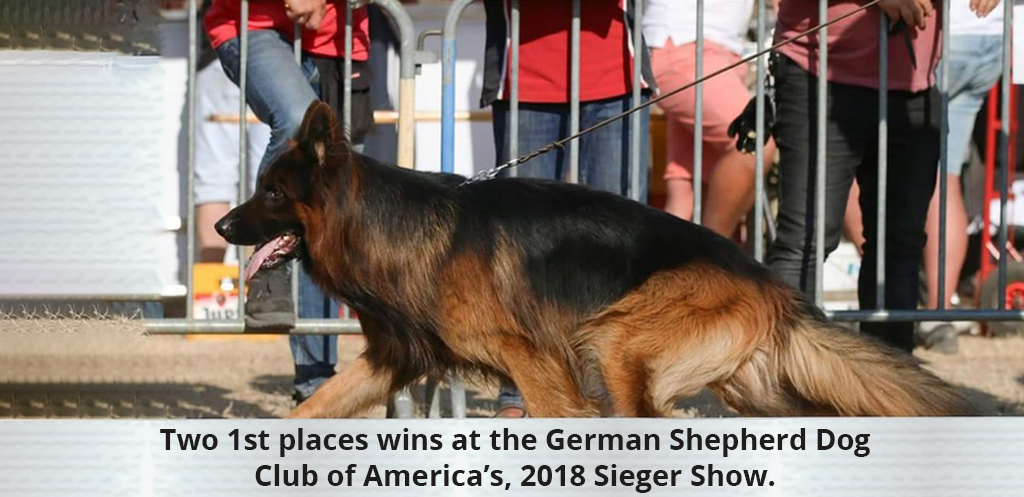 Two 1st places wins at the German Shepherd Dog Club of America's, 2018 Sieger Show.