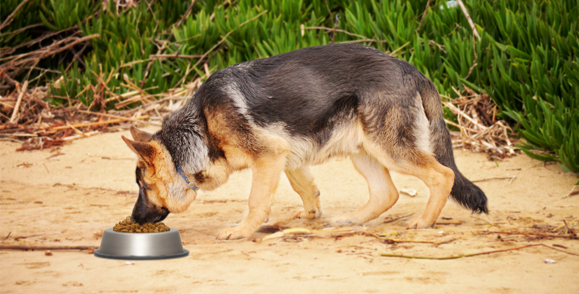 How to feed German shepherd ?