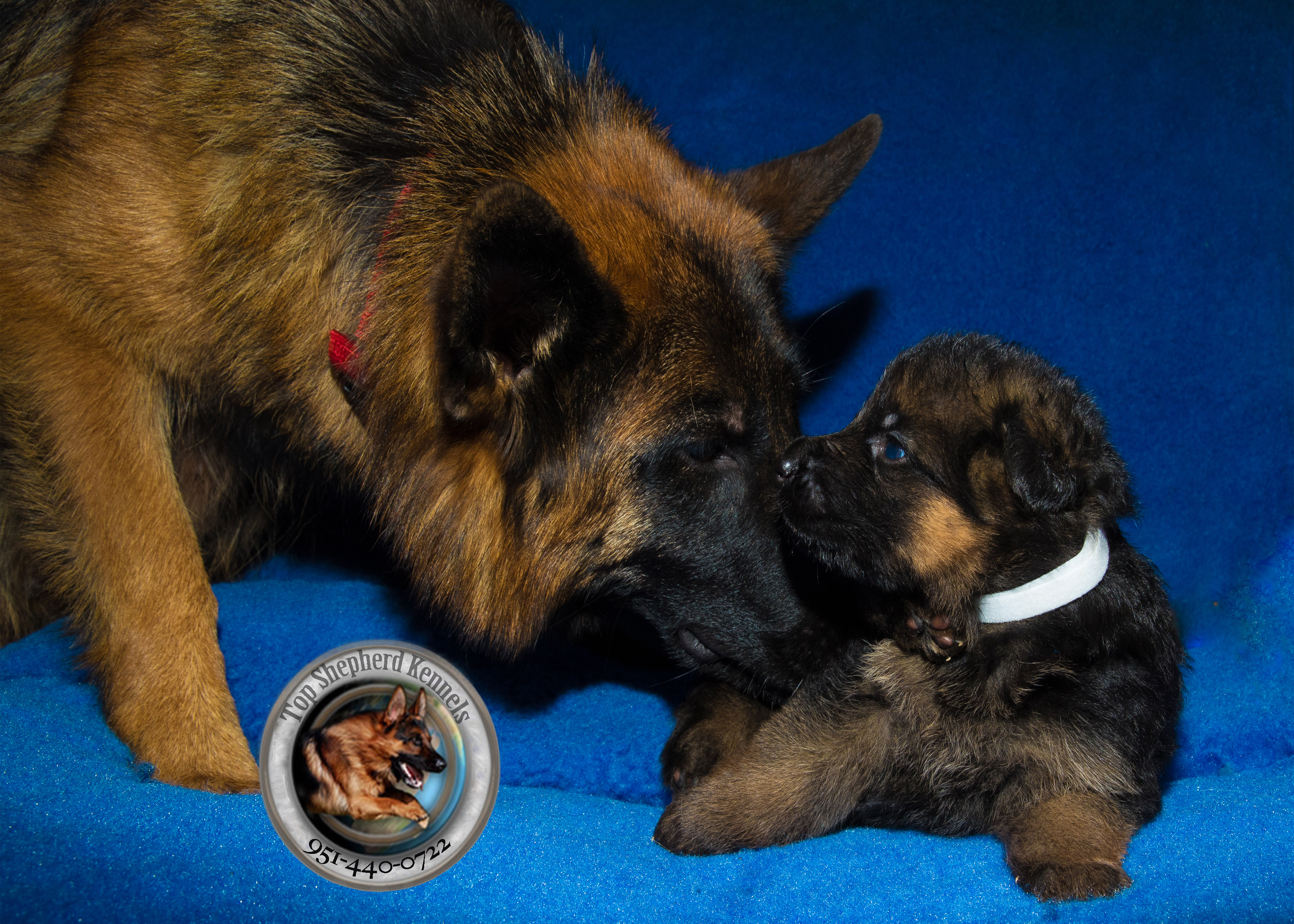 How many puppies do German shepherds have in their first litter?